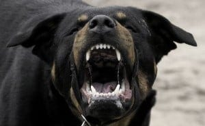 Aggressive looking Rottweiler