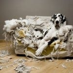 Great Dane laying on a torn up couch