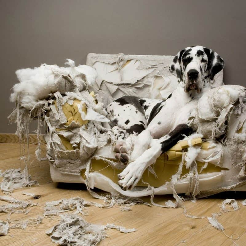 http://www.dogloversdigest.com/wp-content/uploads/2010/12/great_dane_torn_couch.jpg