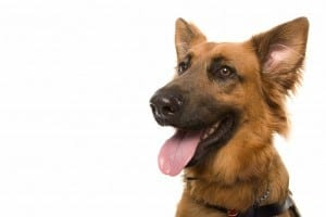 Studio photo of German Shepherd