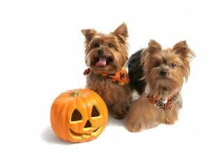 Two yokies posed next to a jack o lantern
