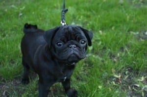 Brachycephalic Dogs - Popular Breeds, Nutrition, Health Problems