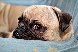 Picture of an Obstinate Looking Pug