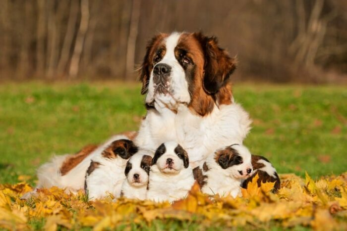 Dog Foods For Saint Bernards