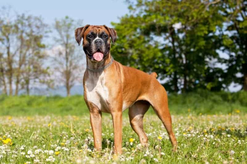 The 14 Best Dog Foods For Boxers 2021 Reviews